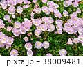 浜昼顔 花 開花の写真 38009481