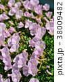 浜昼顔 花 開花の写真 38009482