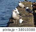 銚子漁港のウミネコと大型カモメ 38010380