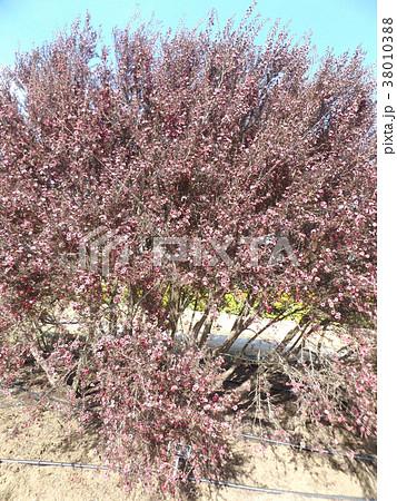 桃色の可愛い花はギョリュウバイ 38010388
