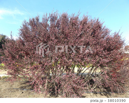 桃色の可愛い花はギョリュウバイ 38010390