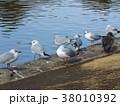 冬の渡り鳥ユリカモメ 38010392