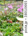 シバザクラ 花 花壇の写真 38010665