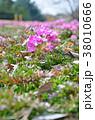 シバザクラ 花 花壇の写真 38010666