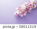 シンビジューム シンビジウム シンビデュームの写真 38011319