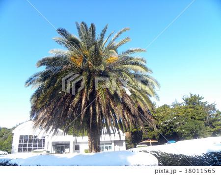 雪の日の大型のヤシの仲間 38011565