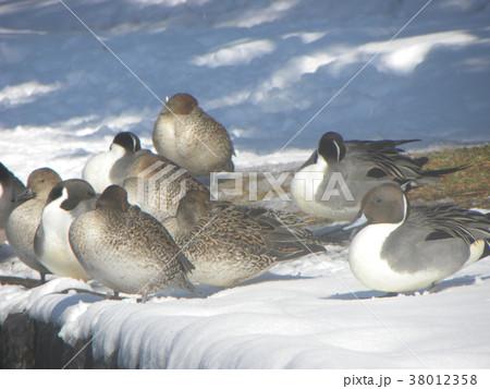 雪の日の稲毛海浜公園のオナガガモ 38012358