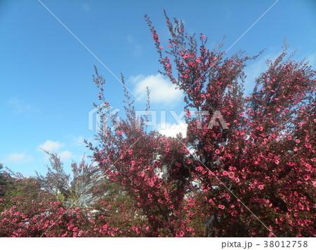 桃色の可愛い花はギョリュウバイ 38012758