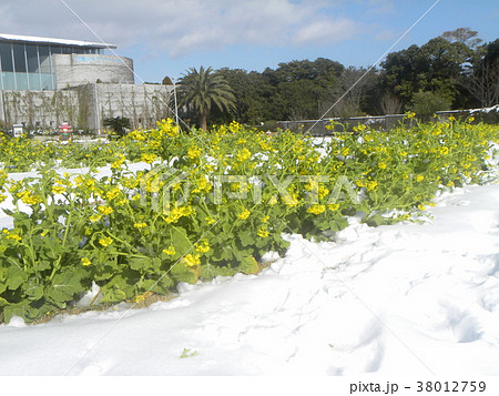 雪の次の日の三陽フラワーミュージアムのナバナ 38012759