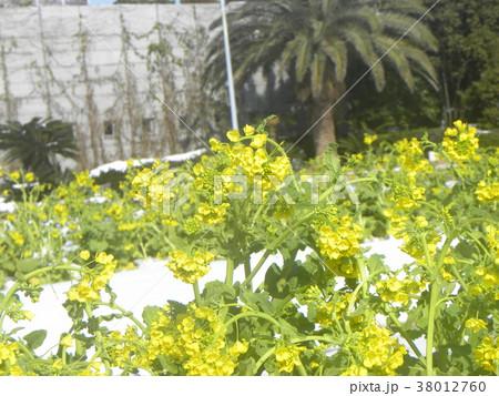 雪の次の日の三陽フラワーミュージアムのナバナ 38012760
