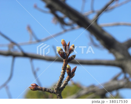 一月の青空に薄緑色のカワヅザクラの蕾 38017530