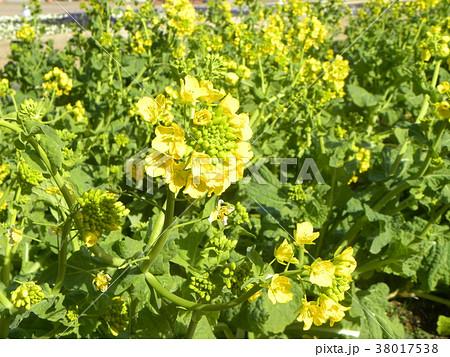 早咲きの黄色いナバナがもう直ぐ満開です 38017538
