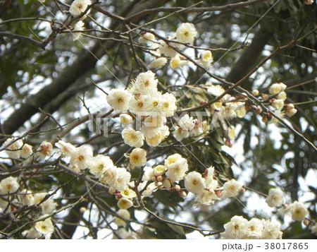 一寸早咲きのウメの白い花 38017865