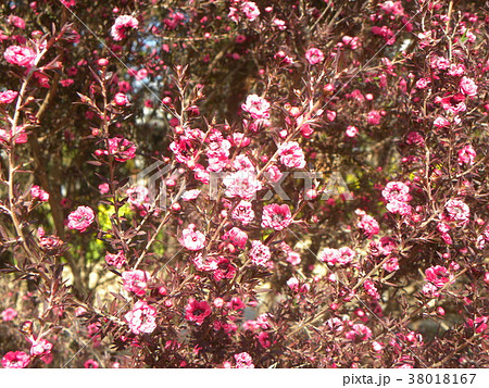 桃色の可愛い花はギョリュウバイ 38018167