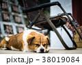子犬 仔犬 こいぬ 38019084