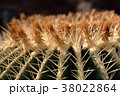 サボテン 植物 多肉植物の写真 38022864