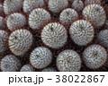サボテン 棘 植物の写真 38022867