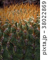 サボテン クローズアップ 植物の写真 38022869