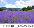 夏 花畑 ラベンダーの写真 38029153