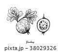 グーズベリー スグリ 手描きののイラスト 38029326