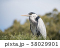鳥 青鷺 鷺の写真 38029901