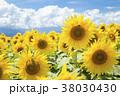 明野ひまわり畑 38030430