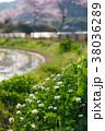 ロツメグサ 桜並木 38036289
