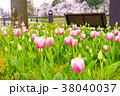 チューリップ 花壇 春の写真 38040037