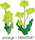 菜の花 38043587