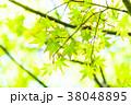 新緑 緑 モミジの写真 38048895