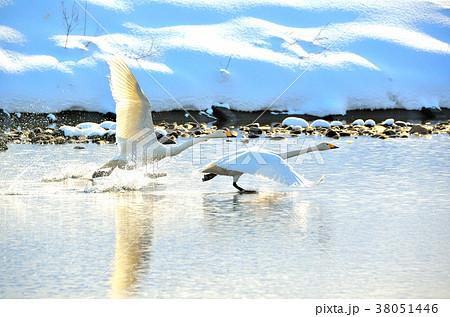 白鳥 38051446