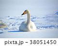 冬 鳥類 白鳥の写真 38051450