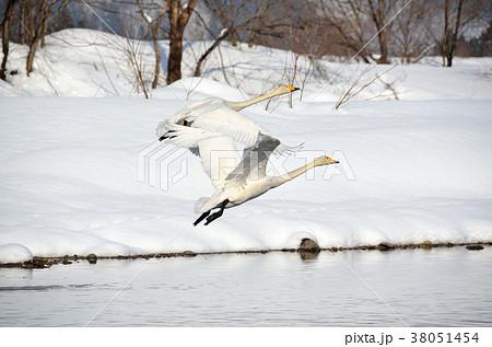 白鳥 38051454