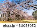 桜 春 晴れの写真 38053052