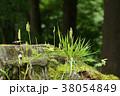 ヒカゲノカズラ シダ植物 切り株の写真 38054849