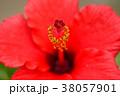ハイビスカス 花 赤の写真 38057901