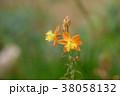 オレンジの花 38058132