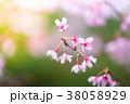桜 ソメイヨシノ ピンクの写真 38058929