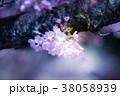 桜 ソメイヨシノ ピンクの写真 38058939