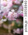 桜 ソメイヨシノ ピンクの写真 38058940
