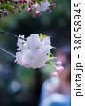 桜 ソメイヨシノ ピンクの写真 38058945