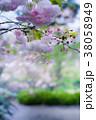 桜 ソメイヨシノ ピンクの写真 38058949