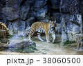 動物 タイガー トラの写真 38060500