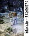 動物 タイガー トラの写真 38060579