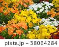 花 植物 ビオラの写真 38064284