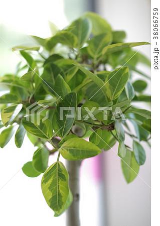 アルテシーマ 観葉植物 38066759