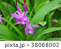 植物 花 紫蘭の写真 38068002