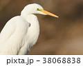 ダイサギ 鳥 野鳥の写真 38068838