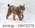 オオヤマネコ 動物 ウィンターの写真 38070278