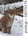 オオヤマネコ 動物 ウィンターの写真 38070279